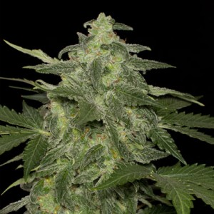 Blackskull female diesel matic seeds