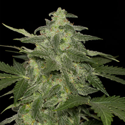 Blackskull female diesel matic seeds