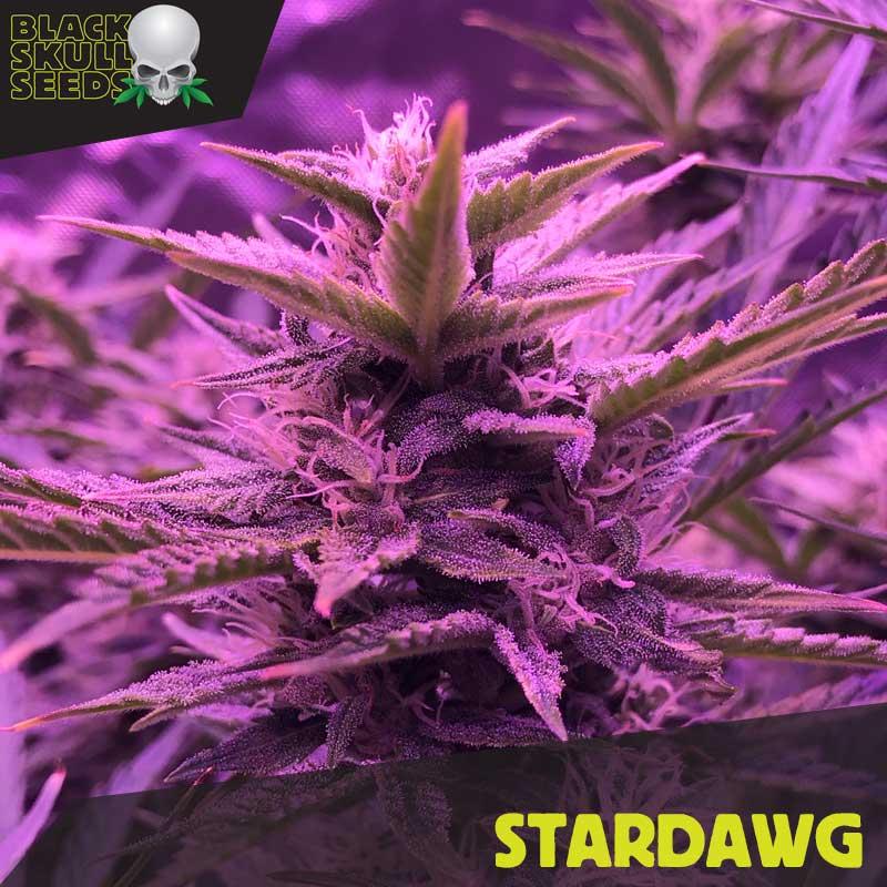 stardawg feminized seeds