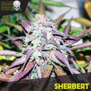 Blackskull Sherbert feminized seeds