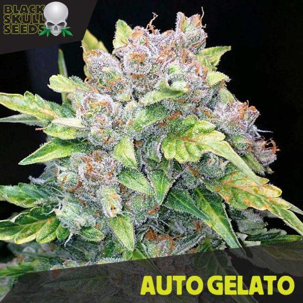 blackskull AUTO GELATO seeds